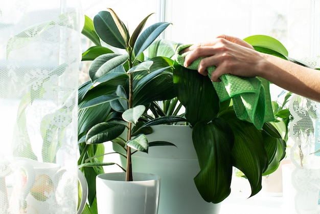 Sprayers and house plants on a window sill. home plant care. spraying with water. garden care. ficus. home work. cleaning