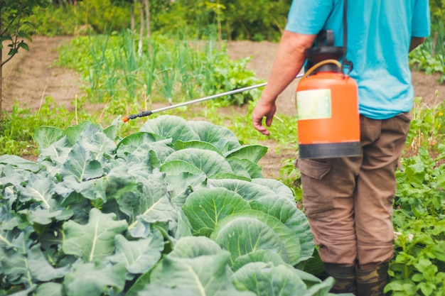 Spraying cabbage against pests in the garden