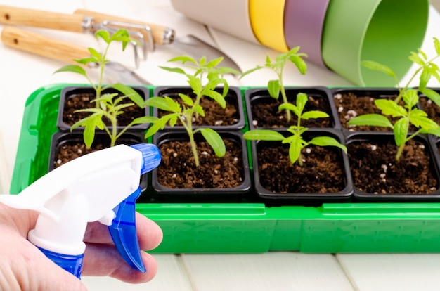 コンテナ内で育つ若い野菜苗のスプレーボトルからのスプレー。