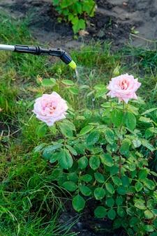 식물에 화학 약품을 뿌리고 압력 분무기로 장미 덤불을 해충으로부터 보호