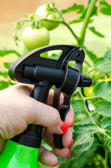 Spraying vegetables and garden plants with pesticides to protect against diseases and pests with hand sprayer.
