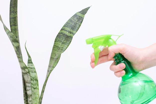 屋内植物に水を噴霧します。手には水が入ったスプレーボトルがあります。