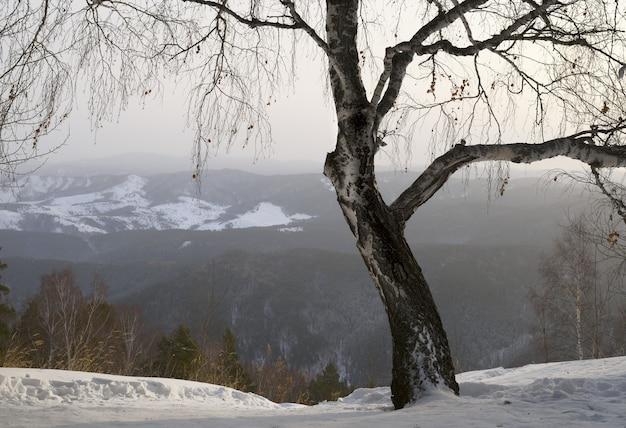 朝霧アルタイ丘陵地帯の遠くの山々を背景に白樺を広げる