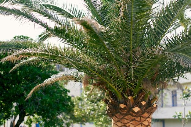 Раскидистая финиковая пальма на фоне дома