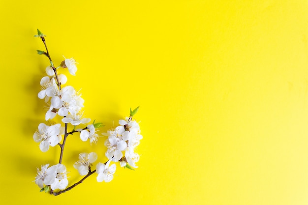 Sprig of blooming cherry on a yellow background