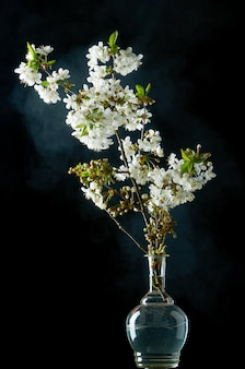 Sprig of blooming white cherry blossoms on black