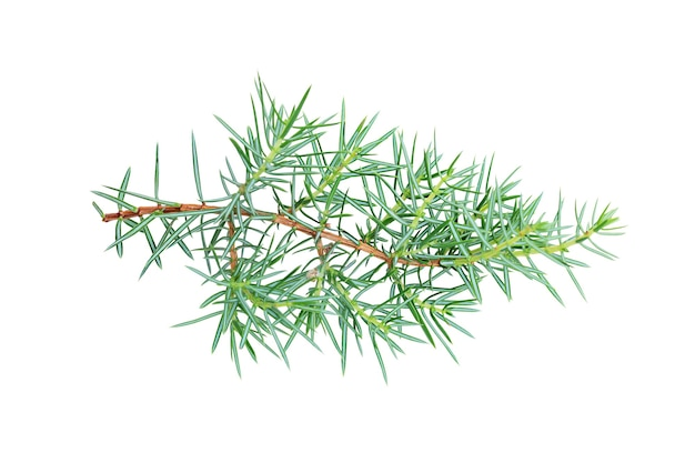 Sprig of conifers isolated on white background