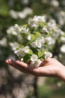 Sprig of jasmine flowers in female hand . close-up.