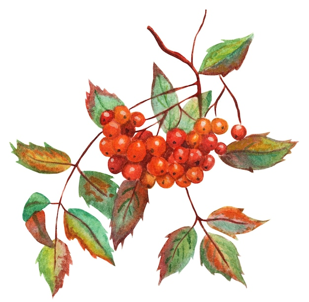 A sprig of mountain ash with beautiful autumn leaves and a bunch of ripe berries autumn watercolor