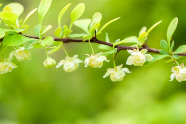 Веточка цветущего барбариса