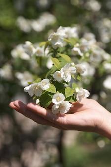 Веточка цветов жасмина в женской руке. крупный план.