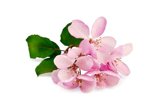 Веточка розовых цветов с зелеными листьями яблони изолирована