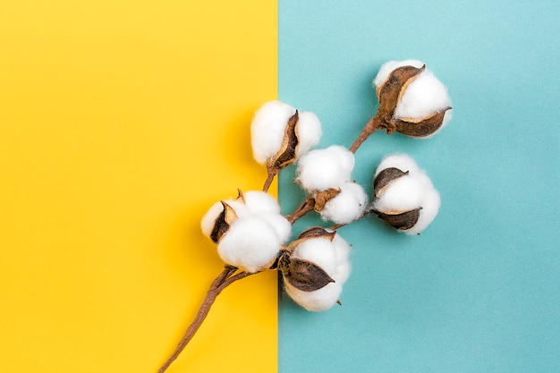Sprig of ripened cotton  on blue and yellow background flat lay top view  hello autumn concept
