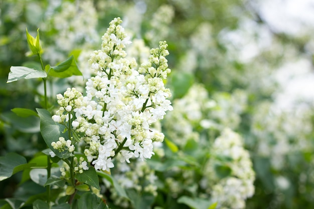 A sprig of white lilac outdoors