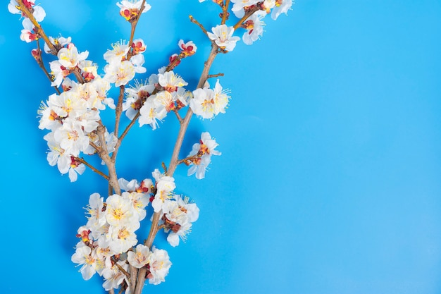 Sprigs of the apricot tree with flowers on blue background flat lay