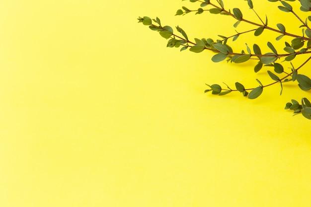 明るい黄色の背景に小さなユーカリパルビフォリアの小枝。コピースペース、トップビュー、フラットレイアウト