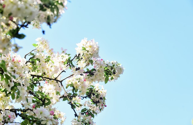 봄 알레르기. 식물학 및 원예 사과 나무 꽃입니다. 꿀 식물. 영감을 주는 꽃. 식물원 개념입니다. 벚꽃 꽃 배경입니다. 부드러운 꽃 푸른 하늘 배경입니다. 꽃 배경입니다.