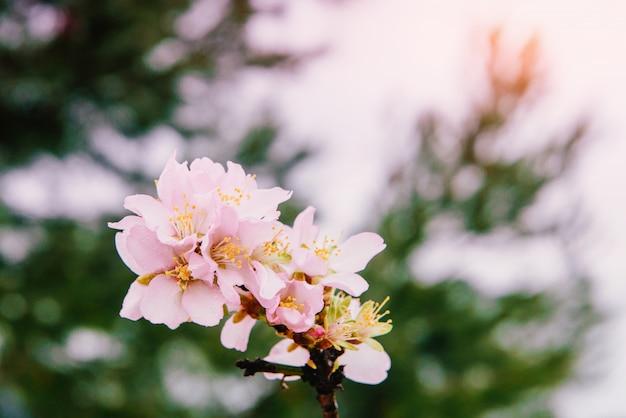 Spring almond tree pink flowers