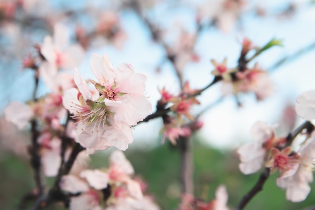 Spring almonds blossoms branch