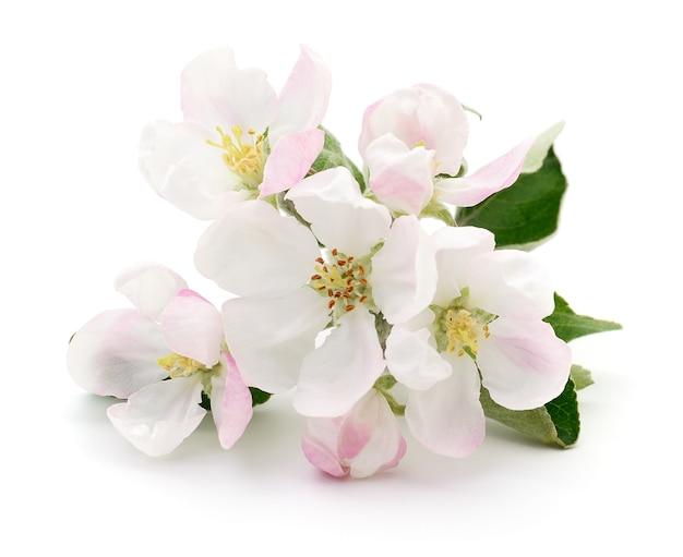 Весной яблоневый цвет, изолированные на белом фоне