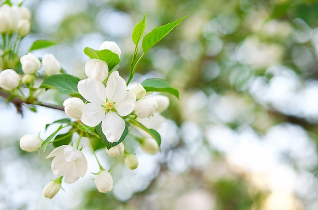 Spring apple blossom with white flowers in the park on a bright sunny day.