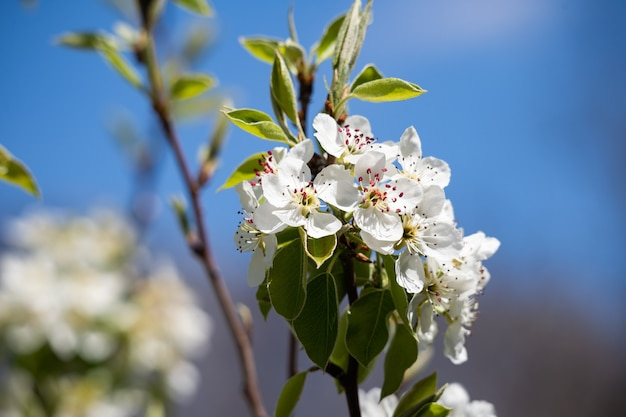 Spring apple blossoms against the blue sky a wonderful scent of a spring garden gardening and cultiv...