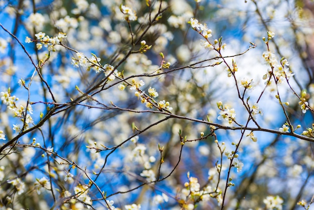 흰 꽃, 푸른 하늘 봄 사과 벚꽃 나무