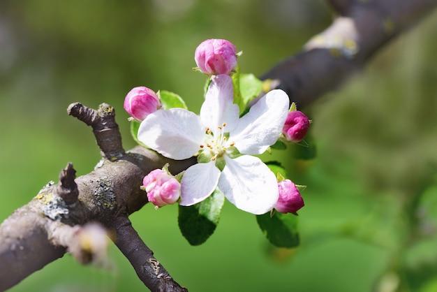 Весна яблоневые цветы распускаются ветка дерева на фоне боке, закрыть