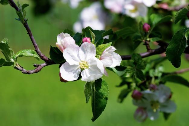 Весна яблоневые цветы цветут ветка дерева на фоне боке зеленый, закрыть