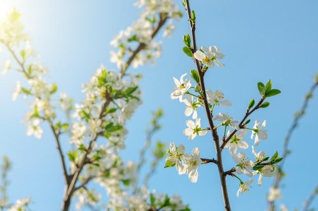 Spring apple tree blossoms over blue sky