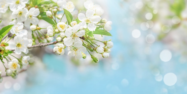 Spring background of cherry tree blossom on blue sky. copy space, selective focus.