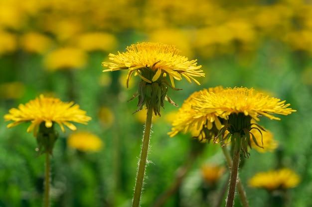 黄色の美しいタンポポの草原の春の背景。
