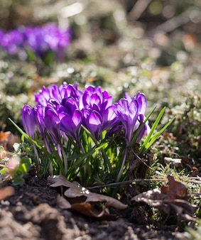 정원에 아름다운 보라색 크로커스가 있는 봄 배경. 시네마 필터 톤 사진.