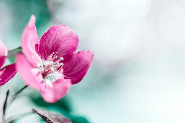 Весенний фон с цветущими ярко-розовыми цветами яблони. красивая природа с солнечным светом. фруктовый сад абстрактный размытый весенний фон с копией пространства. пасха солнечный день moody bold colors