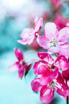 피 밝은 분홍색 사과 나무 꽃 봄 배경. 햇빛과 함께 아름 다운 자연 장면입니다. 과수원 추상 흐리게 봄 날 배경 복사 공간. 부활절 화창한 날 무디 대담한 색상