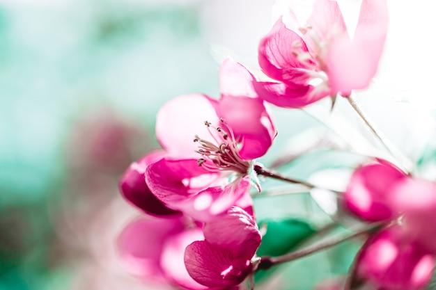 Весенний фон с цветущими ярко-розовыми цветами яблони. красивая природа с солнечным светом.