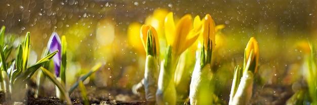 Spring background with flowering crocus in early spring. crocus iridaceae.