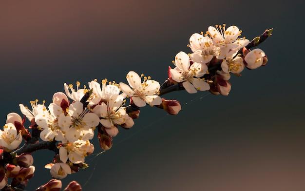 花、アプリコットの木と春の背景