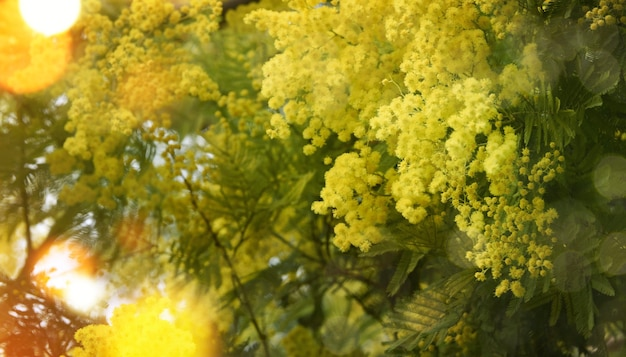 Весенний фон с цветком мимозы