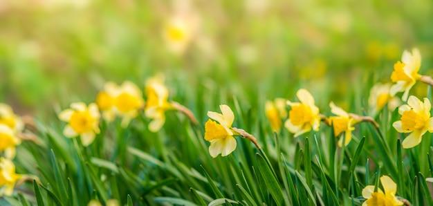黄色の花と春の背景。緑の黄色い水仙。