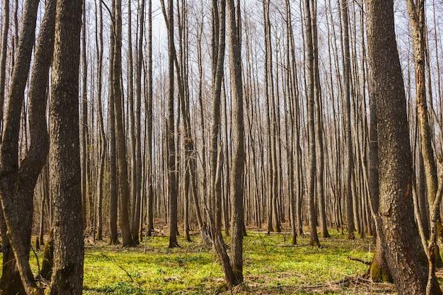 Spring bare forest