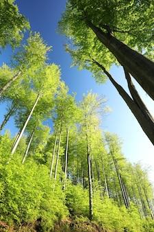 青い空を背景に春のブナの森