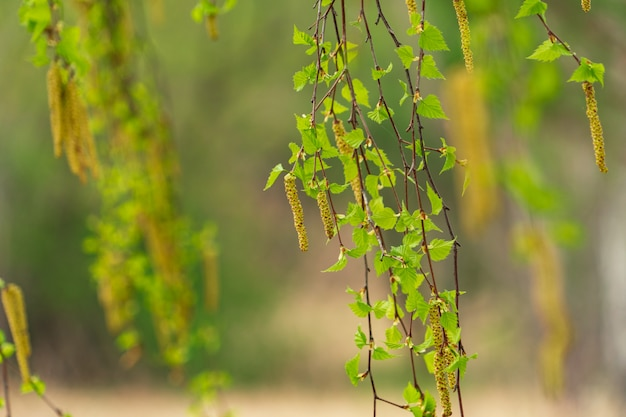Spring birch catkins on branch without leaves on tender green forest