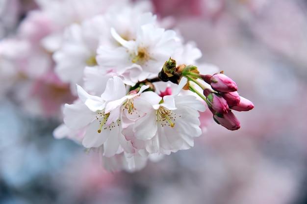 봄 꽃. 벚꽃 가지 근접 촬영
