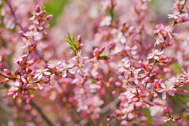 Spring bloom of pink flowers.