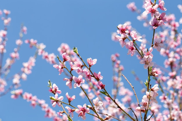 Spring blooming apricot tree close up against the sky.