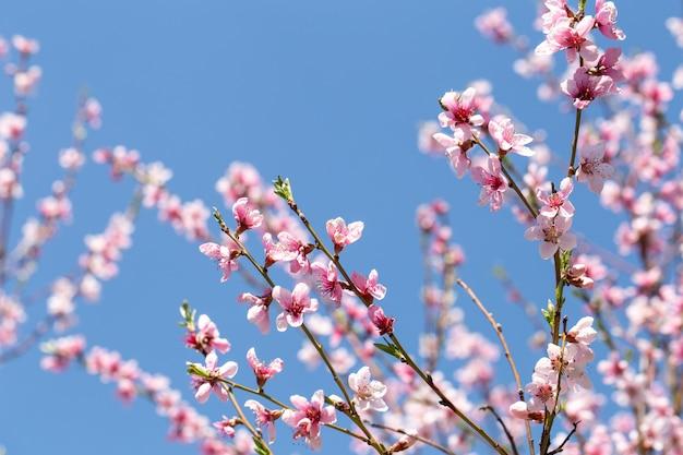 봄 개화 살구 나무는 하늘을 닫습니다.
