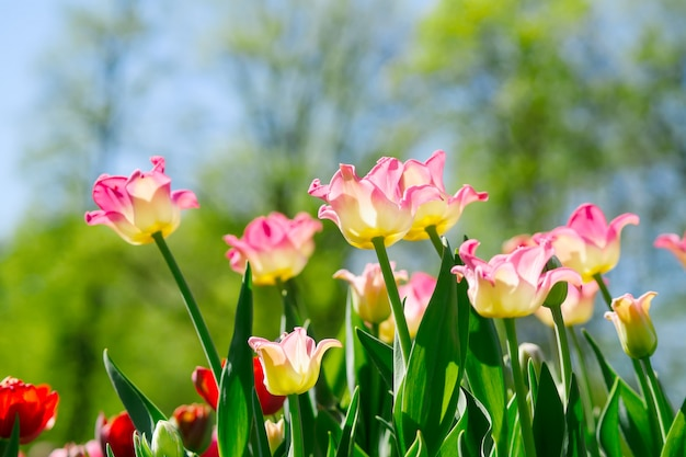 春に咲く花。青い空を背景に明るいピンクとオレンジのチューリップのフィールド。
