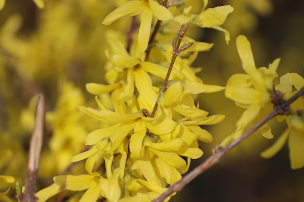 Spring blooming of flowers on a tree yellow flowers bush with bright yellow flowers