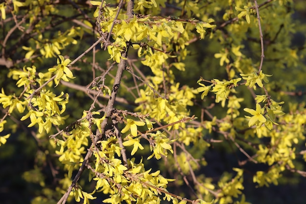 Spring blooming of flowers on a tree yellow flowers